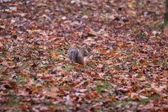 Σκίουρος σε ένα πάρκο φθινοπώρου μεταξύ των φύλλων στοκ εικόνες με δικαίωμα ελεύθερης χρήσης