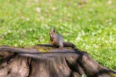 Σκίουρος σε μια κάνναβη Στοκ Φωτογραφία