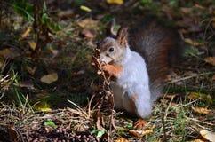 Σκίουρος, Σιβηρία, δάσος, καρύδι πεύκων στοκ φωτογραφίες
