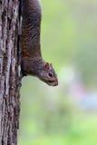 σκίουρος σκαρφαλωμένος Στοκ φωτογραφία με δικαίωμα ελεύθερης χρήσης
