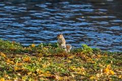 Σκίουρος στα φύλλα φθινοπώρου στοκ φωτογραφίες