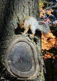 Σκίουρος στην κινηματογράφηση σε πρώτο πλάνο δέντρων Στοκ φωτογραφία με δικαίωμα ελεύθερης χρήσης