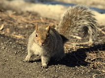 Σκίουρος στη φύση Στοκ Φωτογραφίες