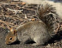 Σκίουρος στη φύση Στοκ φωτογραφία με δικαίωμα ελεύθερης χρήσης