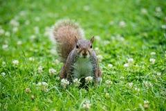 Σκίουρος στη χλόη Στοκ εικόνα με δικαίωμα ελεύθερης χρήσης