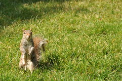 Σκίουρος στη χλόη Στοκ Εικόνες