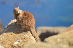 Σκίουρος στον κόλπο που εξετάζει τη κάμερα Στοκ φωτογραφία με δικαίωμα ελεύθερης χρήσης