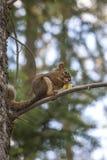 Σκίουρος στον κλάδο με τους κώνους πεύκων Στοκ Εικόνες
