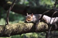 Σκίουρος στον κλάδο Στοκ Εικόνες