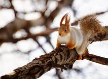 Σκίουρος στον κλάδο στοκ εικόνα