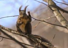 Σκίουρος στον κλάδο Στοκ Φωτογραφία