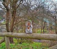 Σκίουρος στον ξύλινο φράκτη που αντιμετωπίζει άμεσα τη κάμερα στοκ εικόνες