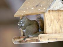 Σκίουρος στον πουλί-τροφοδότη Στοκ φωτογραφίες με δικαίωμα ελεύθερης χρήσης