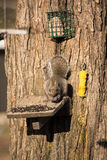 Σκίουρος στον τροφοδότη στοκ φωτογραφία