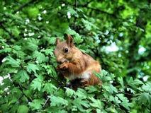 Σκίουρος στους κλάδους Στοκ εικόνες με δικαίωμα ελεύθερης χρήσης