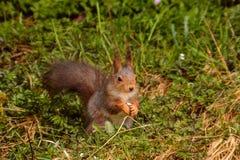 Σκίουρος στους τομείς Στοκ Φωτογραφίες