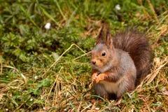 Σκίουρος στους τομείς Στοκ Εικόνες