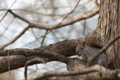 Σκίουρος στο δάσος Στοκ φωτογραφία με δικαίωμα ελεύθερης χρήσης