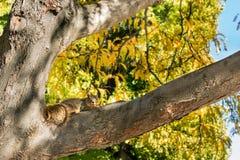 Σκίουρος στο δέντρο κατά τη διάρκεια του φθινοπώρου στοκ φωτογραφία