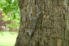 Σκίουρος στο δέντρο Λονδίνο UK Στοκ εικόνα με δικαίωμα ελεύθερης χρήσης