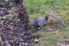 Σκίουρος στο δέντρο πάρκων Στοκ εικόνες με δικαίωμα ελεύθερης χρήσης
