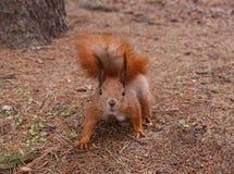 Σκίουρος στο δέντρο πεύκων Στοκ εικόνα με δικαίωμα ελεύθερης χρήσης