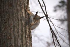 Σκίουρος στο δέντρο, που προετοιμάζεται να πηδήσει Στοκ Εικόνες