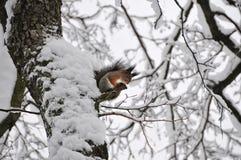 Σκίουρος στο δέντρο Στοκ Εικόνες