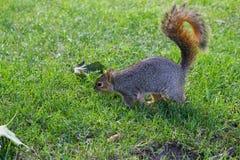Σκίουρος στο έδαφος Στοκ Εικόνα
