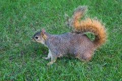 Σκίουρος στο έδαφος Στοκ Φωτογραφίες