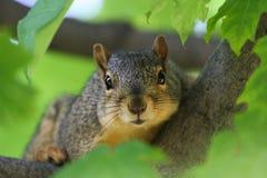 Σκίουρος στο δέντρο σφενδάμνου Στοκ Φωτογραφία