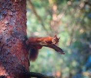 Σκίουρος στο δέντρο στοκ εικόνα