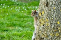 Σκίουρος στο δέντρο Στοκ εικόνες με δικαίωμα ελεύθερης χρήσης