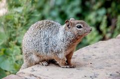 Σκίουρος στο εθνικό πάρκο Zion. Στοκ Φωτογραφίες