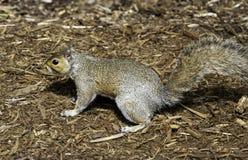 Σκίουρος στο ζωολογικό κήπο NC Στοκ Εικόνα