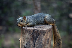 Σκίουρος στο κολόβωμα στοκ εικόνα με δικαίωμα ελεύθερης χρήσης