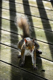 Σκίουρος στο μπαλκόνι Στοκ εικόνα με δικαίωμα ελεύθερης χρήσης