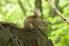 Σκίουρος στο πάρκο με το δέντρο στοκ φωτογραφίες με δικαίωμα ελεύθερης χρήσης