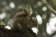 Σκίουρος στο πάρκο με το δέντρο στοκ φωτογραφία με δικαίωμα ελεύθερης χρήσης