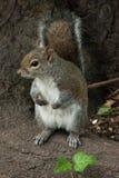 Σκίουρος στο πάρκο με το δέντρο στοκ εικόνα