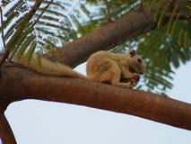 Σκίουρος στο πάρκο, Μπανγκόκ, Ταϊλάνδη Στοκ εικόνα με δικαίωμα ελεύθερης χρήσης