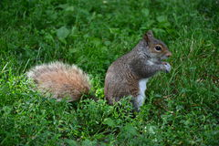 Σκίουρος στο πάρκο στη Βοστώνη Στοκ φωτογραφία με δικαίωμα ελεύθερης χρήσης