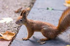 Σκίουρος στο πάρκο φθινοπώρου Στοκ Φωτογραφίες