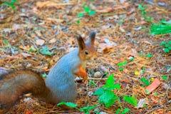 Σκίουρος στο πάρκο φθινοπώρου Στοκ φωτογραφίες με δικαίωμα ελεύθερης χρήσης