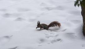 Σκίουρος στο πάρκο χειμερινών πόλεων Στοκ Φωτογραφία