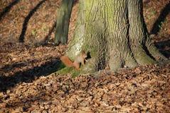 Σκίουρος στο πάρκο 4 Στοκ Εικόνες