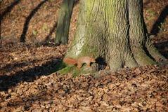 Σκίουρος στο πάρκο 5 Στοκ εικόνα με δικαίωμα ελεύθερης χρήσης