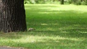 Σκίουρος στο πάρκο απόθεμα βίντεο