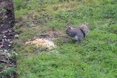Σκίουρος στο πάτωμα πάρκων Στοκ Φωτογραφίες