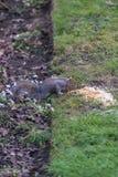 Σκίουρος στο πάτωμα πάρκων Στοκ Εικόνα